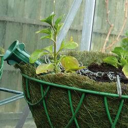 Set 2 irrigatori per vasi appesi, , large