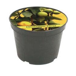 Vaso con seme di limone, , large